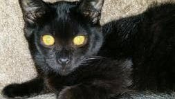 This black kitten was stolen from a cage at Salem Friends of Felines. The shelter is offering a reward for his return, as he needs medication.