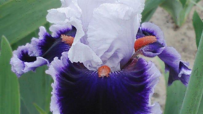 Bravery, a bearded iris by Joe Ghio introduced in 2012