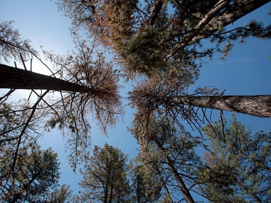 The brown needles on these pine trees in Idyllwild on May 12, 2015 indicate a bark beetle infestation. The long drought has weakened the trees' natural defenses, making them vulnerable to the pests.