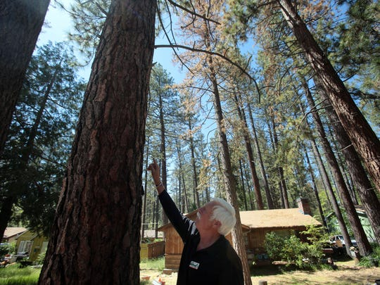 Pat Boss, the project manager for the Mountain Communities Fire Safe Council, points out the pitch tubes on a pine tree killed by bark beetles on May 12, 2015. The trees use pitch to try to push out parasites. The long drought has weakened many of Idyllwild's pine trees.