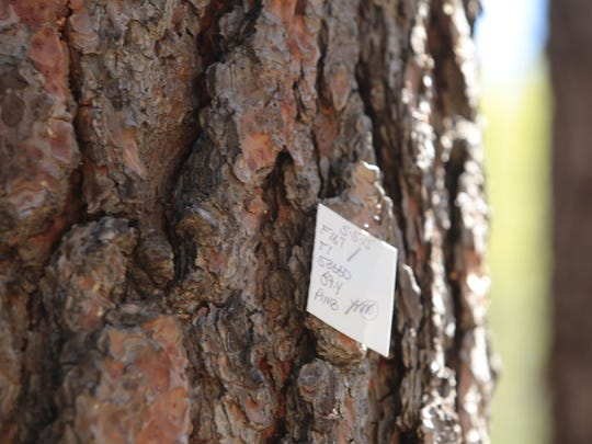A tag marks a dead pine tree for removal in Idyllwild on May 12, 2015. Bark beetles have killed many pine trees in this part of the San Jacinto Mountains, in the San Bernardino National Forest.