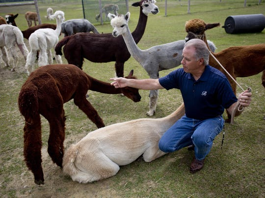 Perry Russo pets his Alpacas Thursday, June 4, 2015 at Riposo Meadows Alpacas in Yale. A grand opening will be held Saturday, June 13, from 11 a.m.-5 p.m.