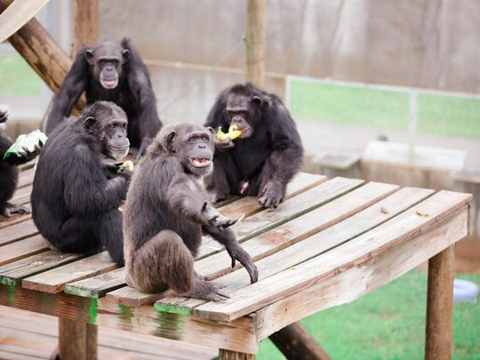 The chimps enjoy their breakfast provided to them by Leilani.