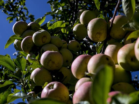 Gala apples hang on a tree Friday at Pankiewicz Cider Mill, 10377 Lindsey Road in Casco Township.