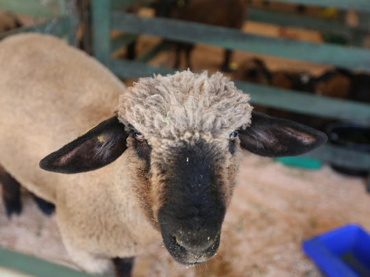 Marion County Lamb and Wool Show, which features 4-H and FFA events with breeding project animals, wool animals and market lambs, plus craft vendors, an ice cream vendor, a local spinning club and a quilters group, will be 9:30 a.m. to 3:30 p.m. June 3 in Turner with a parade at 11 a.m. and Fireman's breakfast 6 to 10 a.m.