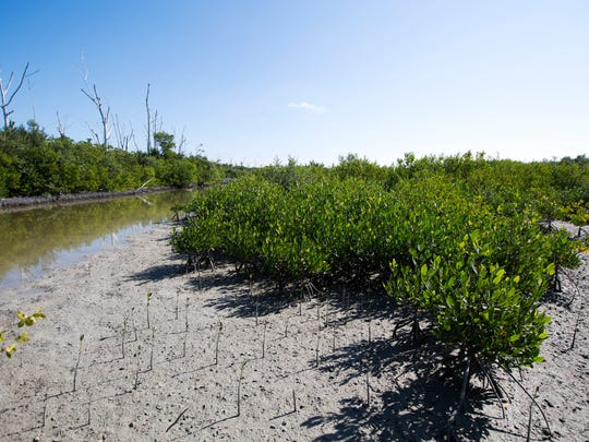 Mangrove planting three years later to the day in Clam Bayou.