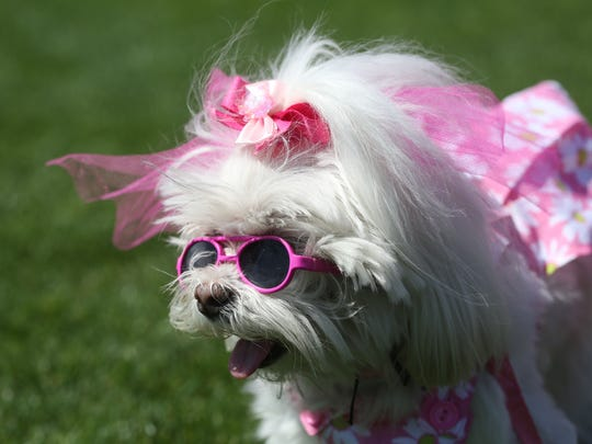 "This dog wore its fashionable outfit during the ""Strut your Mutt"" dog event held at the Frances Hack Park in La Quinta on Saturday."