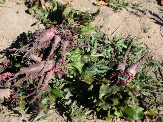 Picked beets are bundled in the field at organic Sage Mountain Farm in Azna on March 6, 2015.