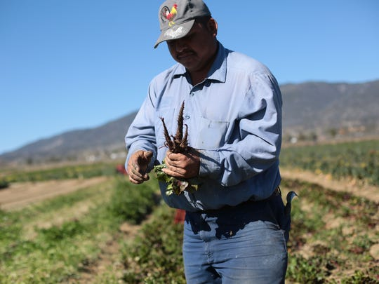 A worker picks beets at the organic Sage Mountain Farm in Azna on March 6, 2015. Each row at the farm is planted with a different vegetable.