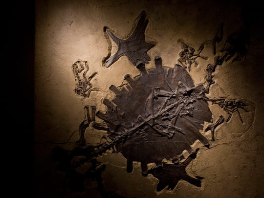 A fossil of a Trionyx, a soft shell turtle, is on display at the Nasr Natural Science Museum in the Clara E. Mackenzie building on the campus of St. Clair County Community College in Port Huron.