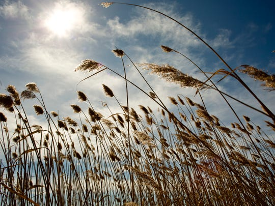 Phragmites is an invasive species affecting local state parks and natural areas.