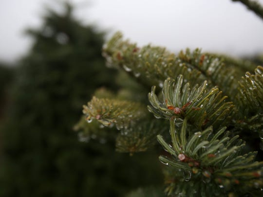 Ice forms on trees before they are harvested at Drakes Crossing Christmas Trees on Thursday, Nov. 13, 2014, near Silverton, Ore.