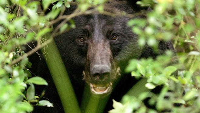 A black bear peers out of some brush in this file photo.