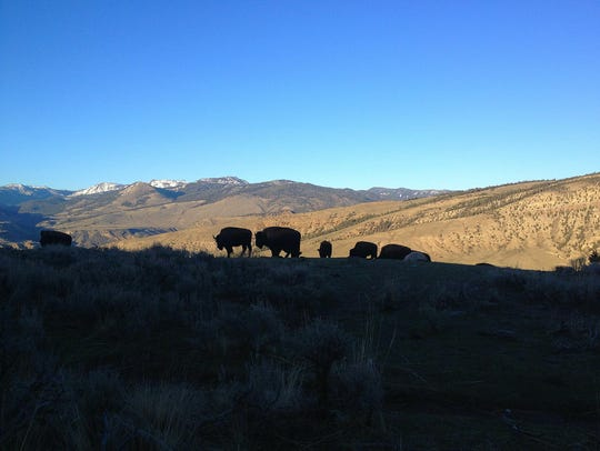 Bison are silhouetted on the Beaver Pond Loop.