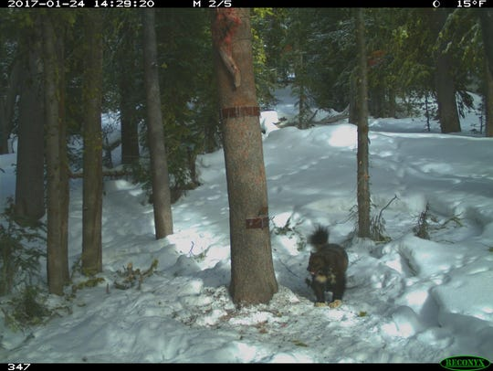A remote camera caught this wolverine at a bait station