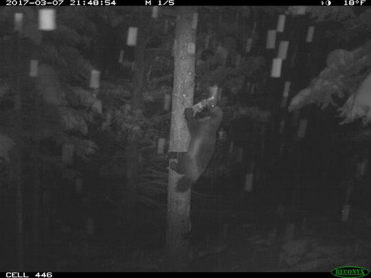 A wolverine goes after a deer leg at a bait station in the mountains west of Augusta.