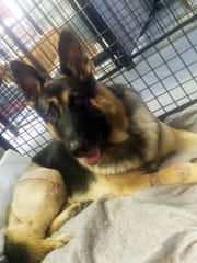 Fanucci, a German shepherd, rests at the home of co-owner Stephanie Schrock in Milton, Delaware., a month after he was injured in a van accident in 2014. Fanccui's right rear leg was shattered and he sustained other cuts and injuries to his body.