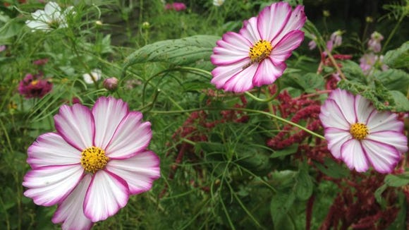 Some colorful flowers, like these cosmos, also attract beneficial insects to your garden.