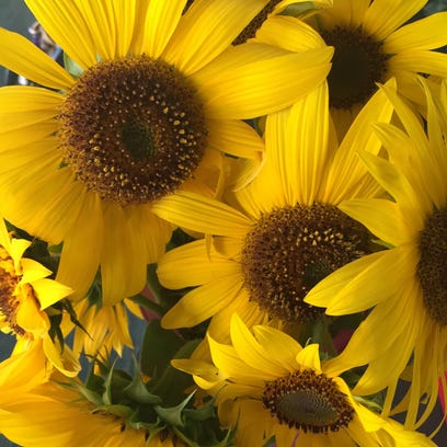 This spray of sunflowers were grown on Norma and Charles