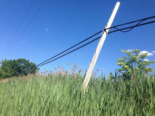 A stand of phragmites along East Commerce Road in Oakland