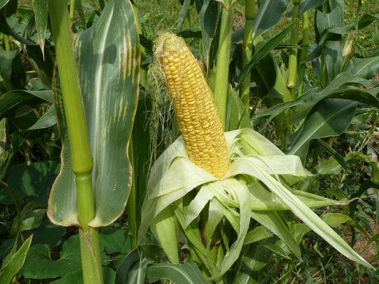 It's a good year for sweet corn in some areas.