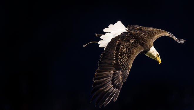 Philadelphia Eagles live eagle mascot Challenger flies through the stadium before the start of a game between the Philadelphia Eagles and the New York Giants in Philadelphia on Monday evening.