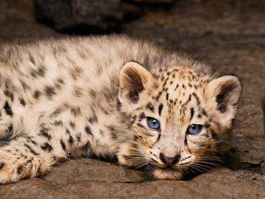 """Born in China"" presents a rare view of a snow leopard"