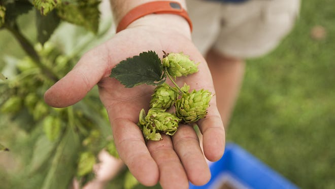 Jon Green holds freshly picked hop cones after separating them from a cut vine during Blue Mountain Brewery's community hop harvest in Afton on Wednesday, Aug. 13, 2014.