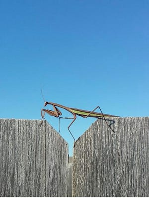 One of the praying mantises Justine Hruska discovered near her apartment in Sioux Falls. The species is not native to the area.