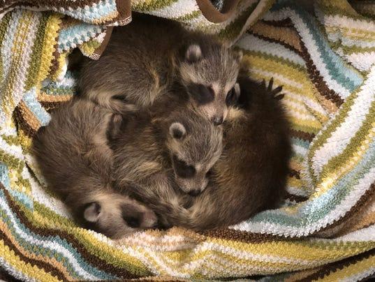 long branch raccoons