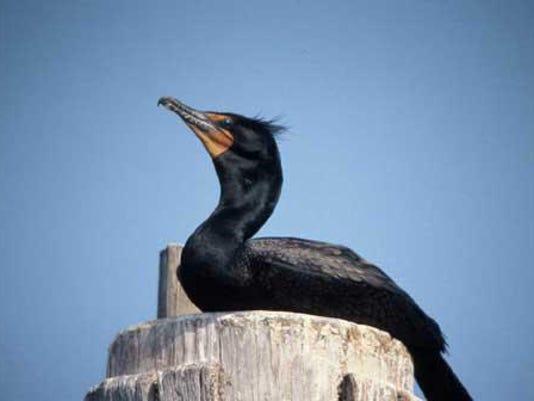 SAL0325-Cormorant hazing