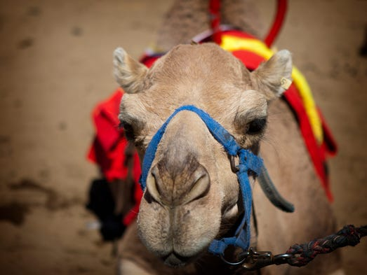 The 56th annual International Camel & Ostrich Races
