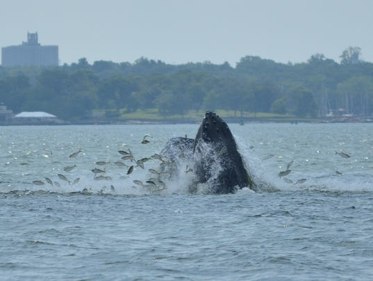 Are There Whales In Long Island Sound