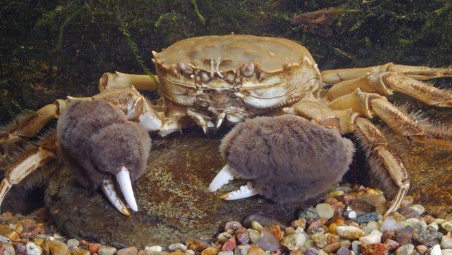 Chinese mitten crab (Eriocheir sinensis).