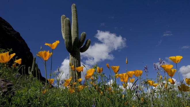 Poppies bloom at Picacho Peak State Park north of Tucson.