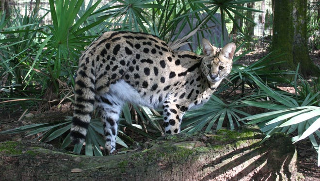 Des is an exotic wild cat called a serval. He was found abandoned near Tucson in 2009.