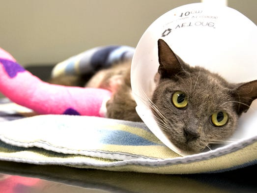 Laurel the cat recovers at Specialized Veterinary Services on Wednesday in Fort Myers after her leg was amputated. Laurel has been receiving treatment since she was admitted to the clinic July 17.