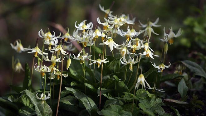 Erythronium blooms along the trails at the Historic Deepwood Estate Friday March 21, 2014.