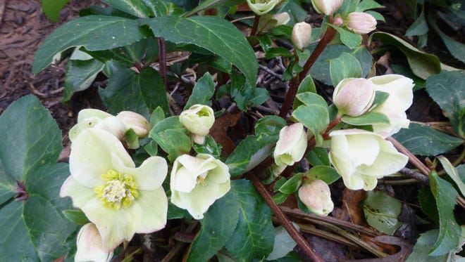 Winter-blooming hellebores, such as this Josef Lemper, are just beginning to open.