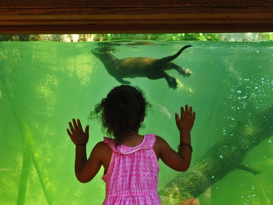 Brianna Sibley-Daggs, 4, watches the new otters at the Brevard Zoo in Viera.