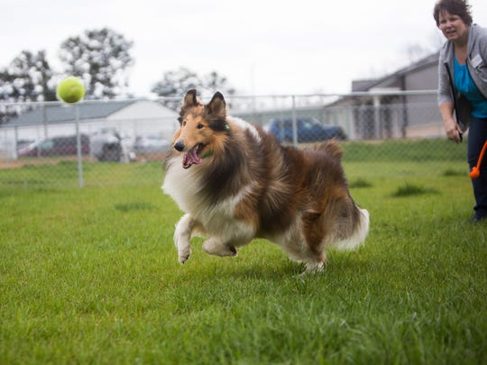 Border collie Roscoe chases after a ball in 2017  at Electric City Stay and Play pet resort in Anderson.