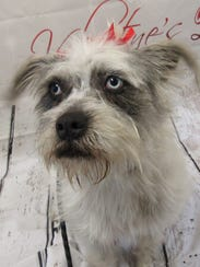 Amelia is a blue-eyed terrier mix female available