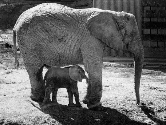 In an April 1978 photograph, Little Diamond and his mother, Toto, take an afternoon stroll at the Knoxville Zoo. It was the youngster's first trip outside since she was born March 2.