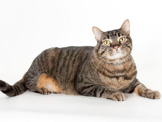 Tiger, 6-year-old male domestic short hair overweight cat. No. 98164.