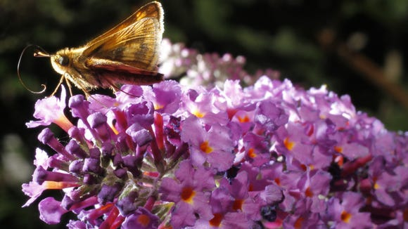 A moth enjoys a flower at the Nyack Community Garden on Sept. 8, 2013.   ( Ricky Flores / The Journal News )