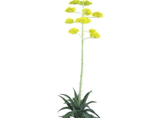 Plant bush isolated. Agave americana.