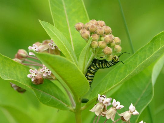 From an egg, a monarch butterfly caterpillar grows about 2,000 times the size of its egg in about two weeks — all on a diet of milkweed.