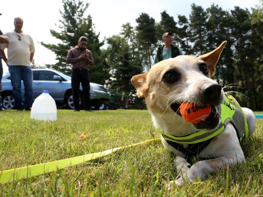 Crush, a 7-year-old Jack Russell terrier-Australian Cattle mix, enjoys some down time chewing and playing with her favorite ball.
