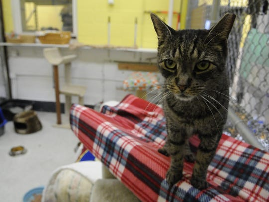 """""""Catie"""" is one of many cats awaiting adoption at the Secaucus Animal Shelter on Tuesday, January 24, 2017."""