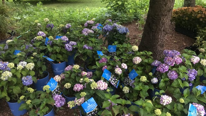 Bloomstruck hydrangeas were among 75 plants Bailey Nurseries donated recently to the Indianapolis Museum of Art.